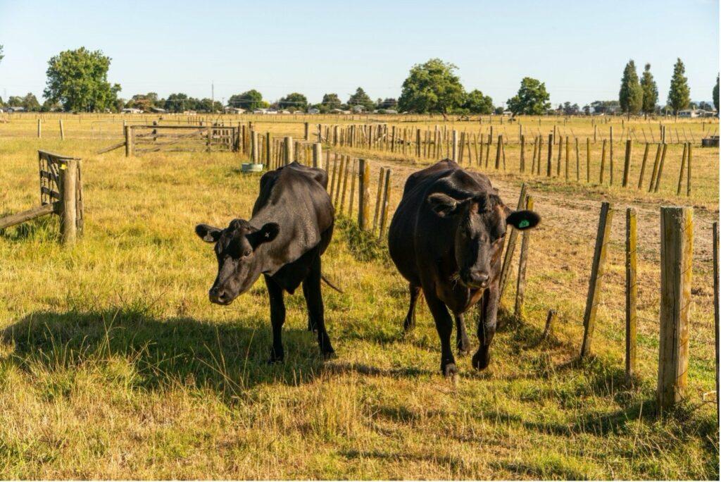 LIC_NZ_dairy_cow_LIC_research